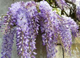 4892510-purple-wisteria-wisteria-japonica-growing-along-a-fence-in-france